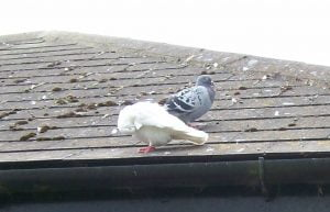 Pigeon roof
