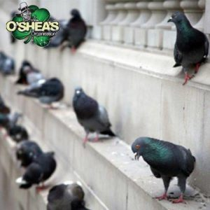 Pigeon eradication